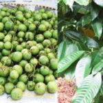 Pohon BUAH GANDARIA : Manfaat dan Kandungan Senyawa Buah Gandaria
