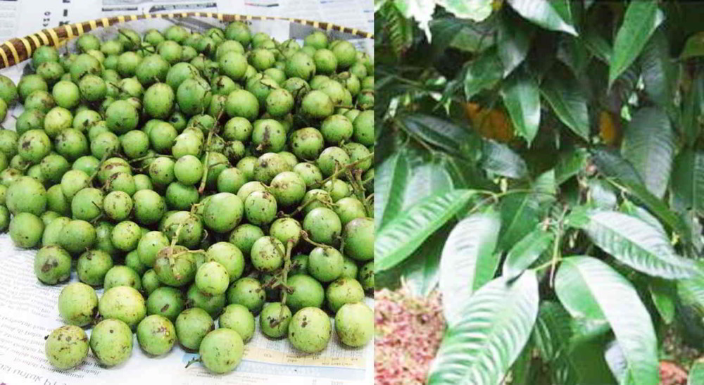 Image result for pohon gandaria