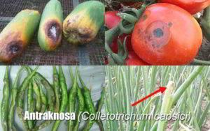 Klasifikasi Colletotrichum capsici Jamur Penyebab Penyakit Antraknosa