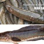 Klasifikasi dan Morfologi IKAN GABUS (Channa striata) : Habitat dan Penyebaran Ikan Gabus