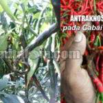 9+ Tindakan Pencegahan dan Pengendalian Penyakit ANTRAKNOSA pada Cabai Rawit dan Cabai Keriting