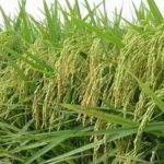 9 Manfaat Unsur Kalium (Pupuk KCl) untuk Tanaman Padi