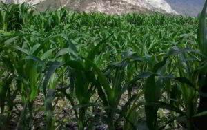 Panduan Lengkap Cara Budidaya Menanam JAGUNG Sistem Tanpa Olah Tanah (TOT)