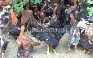 8 Tips Memelihara Ayam Buras
