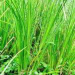 AKAR WANGI (Vetiveria zizanioide) : Klasifikasi dan Morfologi Tanaman Akar Wangi
