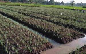 Tanaman bawang merah (Foto : Dhodho)
