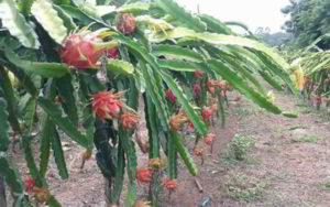 Gambar Budidaya Buah Naga Organik di Kebun Pekarangan