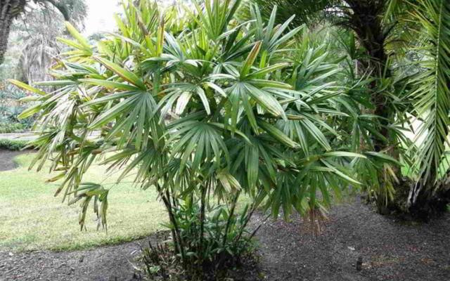 PALEM KIPAS | jenis tanaman hias outdoor