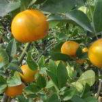 Klasifikasi dan Morfologi Tanaman Jeruk