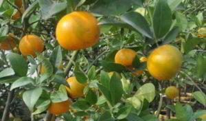 Artikel Lengkap Tentang Klasifikasi dan Morfologi Tanaman Jeruk
