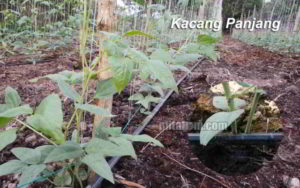 Contoh Sistem Irigasi Tetes pada Tanaman kacang Panjang