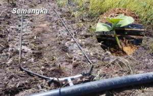Irigasi Tetes (Drip Irrigation) untuk Tanaman Semangka