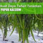 Pupuk Kalsium Untuk Meningkatkan Daya Tahan Tanaman