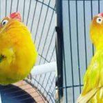 400 Kali Menang Lomba, LOVE BIRD Termahal di Indonesia di Tawar 2 Miliar