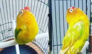 Love Bird Kusumo LOVE BIRD Termahal