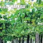 Panduan Lengkap Budidaya Markisa dari Biji