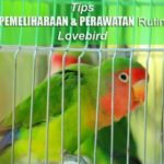 Tips Pemeliharaan & Perawatan Rutin LOVEBIRD, Jenis Pakan dan Penanganan Lovebird Mabung