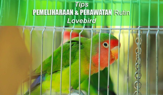 Unduh 100+  Gambar Burung Lovebird Mabung  Paling Bagus Gratis
