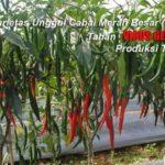 CARVI AGRIHORTI – Varietas Cabai Merah Unggul TAHAN VIRUS GEMINI, Tahan Thrips dan Produksi Tinggi
