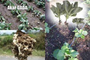 Fungisida untuk Kubis Akar Gada