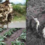 Siklus Hidup Plasmodiophora brassicae, Morfologi dan Daur Penyakit Akar Gada (Club Root)