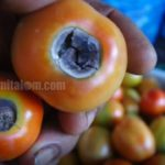 Mengatasi BLOSSOM-END ROT Buah Tomat (Mencegah dan Mengendalikan Penyakit BUSUK PANT@T)