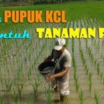 Dosis PUPUK KCL untuk Padi (Cara dan Waktu Aplikasi Pupuk KCL untuk Tanaman Padi)