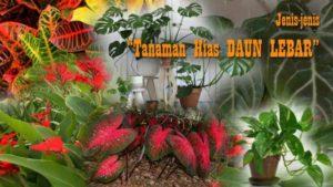 9+ Tanaman Hias DAUN LEBAR Cocok untuk Hunian dan Taman Indoor Outdoor (Page 1)
