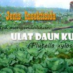 Banyak Pilihan !! Berikut  99+  Daftar Insektisida  untuk ULAT PLUTELLA Xylostella (Ulat Daun Kubis)