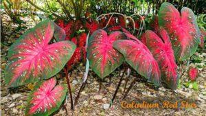 9+ Tanaman Hias DAUN LEBAR Cocok untuk Hunian dan Taman Indoor Outdoor Page 2