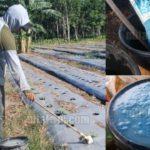 Dosis PUPUK NPK Mutiara dan NPK YaraMila per Liter Air – Perbandingan Pupuk NPK dengan Air untuk Pupuk Kocor