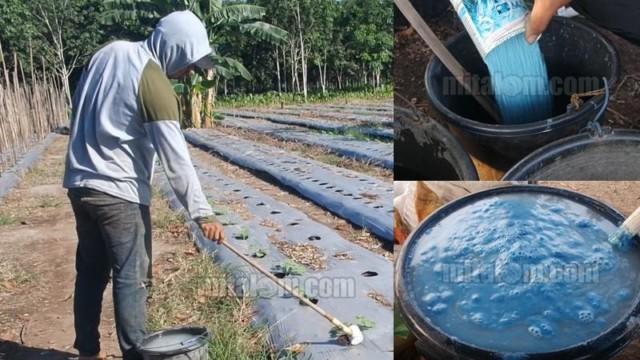 Perbandingan Pupuk Npk Dan Air Untuk Kocor Agar Tanaman Subur Buah Lebat