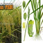 Klasifikasi dan Morfologi PADI : Lengkap dengan Ciri-ciri dan Deskripsi Tanaman Padi