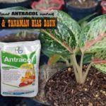 Manfaat ANTRACOL untuk BUNGA : Dosis, Manfaat dan Cara Pakai Antracol untuk Tanaman Hias Bunga dan Daun