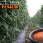 Petani Wajib Tahu !! 9 Manfaat Penting PUPUK KCL untuk Kacang Panjang, Kuatkan Batang dan Lebatkan Buah