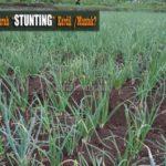 Mengatasi Penyakit KERDIL (Mantek) pada Tanaman Bawang Merah (Stunting)