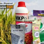 Pupuk MKP untuk PADI : Dosis dan 8 Manfaat MKP untuk Tanaman Padi
