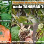 8 Cara Tepat Pengendalian BERCAK DAUN KERING Alternaria solani Pada Tanaman Tomat