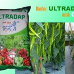 Pupuk ULTRADAP untuk CABE : Dosis dan Cara Menggunakan ULTRADAP untuk Tanaman Cabai