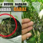 Obat BUSUK BATANG pada Tanaman Cabai ! Berikut ini Jenis Fungisida untuk Mengendalikan Busuk Batang pada Cabai