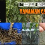 Obat BUSUK AKAR & PANGKAL BATANG Cabai – Berikut Daftar Merk Fungisida Busuk Akar Phytophthora !