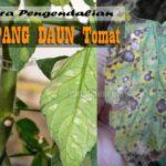 Penyakit KAPANG DAUN Tomat : Penyebab, Gejala dan Cara Pengendalian Penyakit Kapang Daun