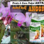 Dosis ANTRACOL untuk Anggrek, Cepat Atasi Penyakit Jamur pada Daun dan Akar