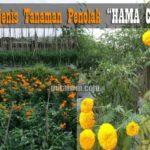5+ Jenis Tanaman Pengusir Hama Cabai, Ampuh Atasi Hama dan Hemat Pestisida